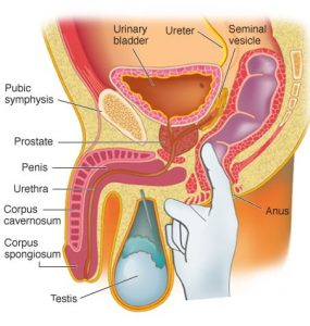 A diagram showing where the prostate is located